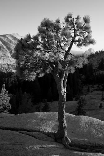 2 - Pinus
